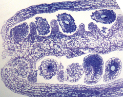 image of ovules
