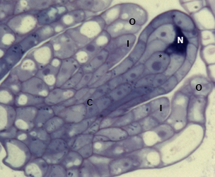 image of growing ovule