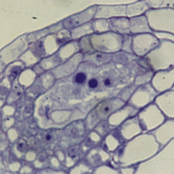 image of stage FG5 embryonic sac