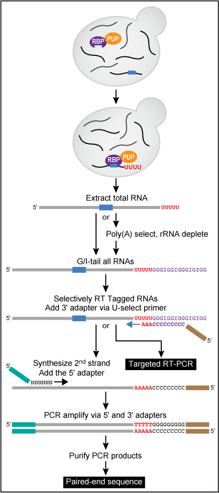image of RNA Tagging