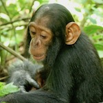 Photo of a two-year-old chimp named Betty