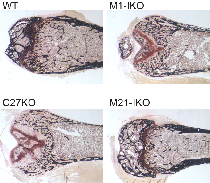 Images of mice bones from the study that show the different effects of genetic editing