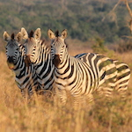 Photo of zebra in Akagera National Park, Rwanda