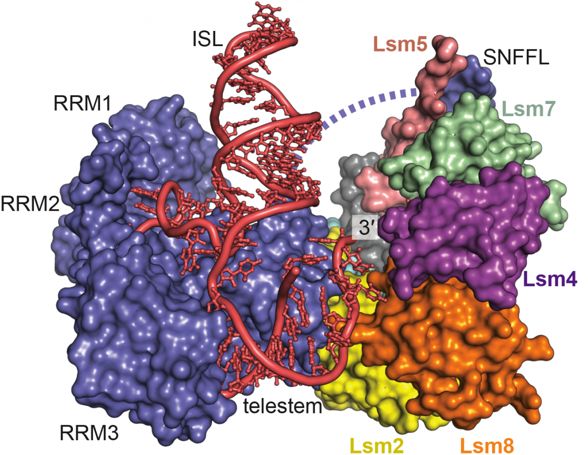 Structure of Prp24 and a seven-protein ring called the Lsm2-8 interacting with the U6 RNA