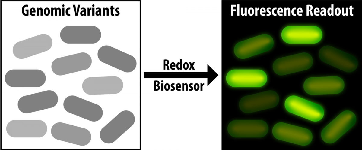 Illustration of the biosensor fluorescing
