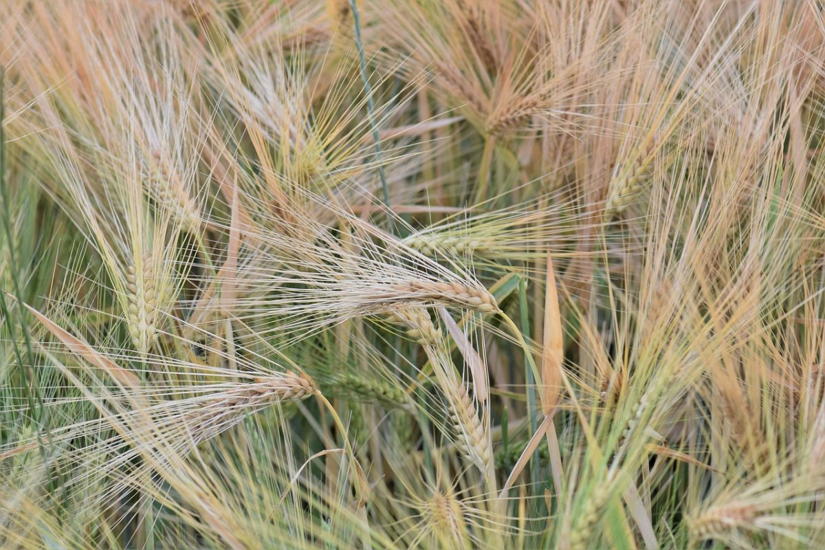 Photo of winter wheat