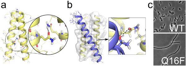 FtsB and FtsL form a higher-oligomeric complex that is mediated by hydrogen bonding