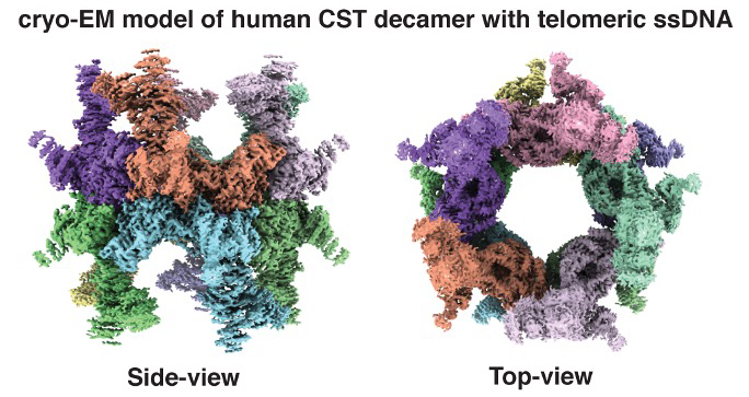 Figure Illustrating Cryo-EM Model of human CST decamer with telomeric ssDNA