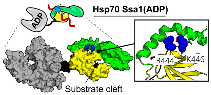 Cartoon of Substitutions in substrate binding domain of Hsp70 allows growth in the absence of J-domain protein Sis1.
