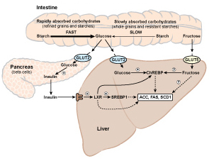 Diagram of carbohydrate-induced lipogenesis