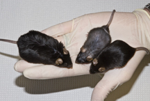 Photo of obses control mice and lean SCD1-deficient mice