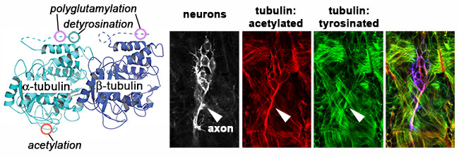 molecular structure of tubulin and micrgraphs of neurons and tubulin