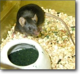 photo of Apc(Min/+) mouse with Spirulina