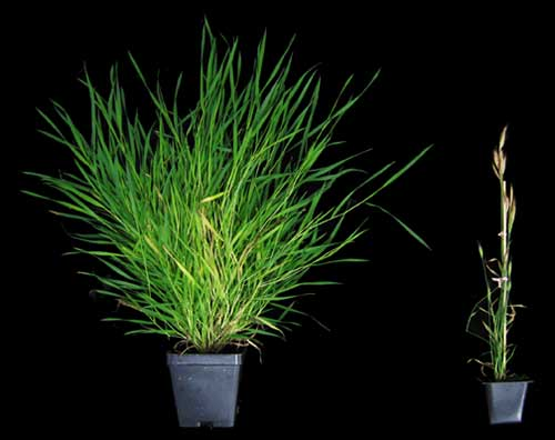 Brachypodium distachyon, the grass the Amasino Lab studies as a model organism.