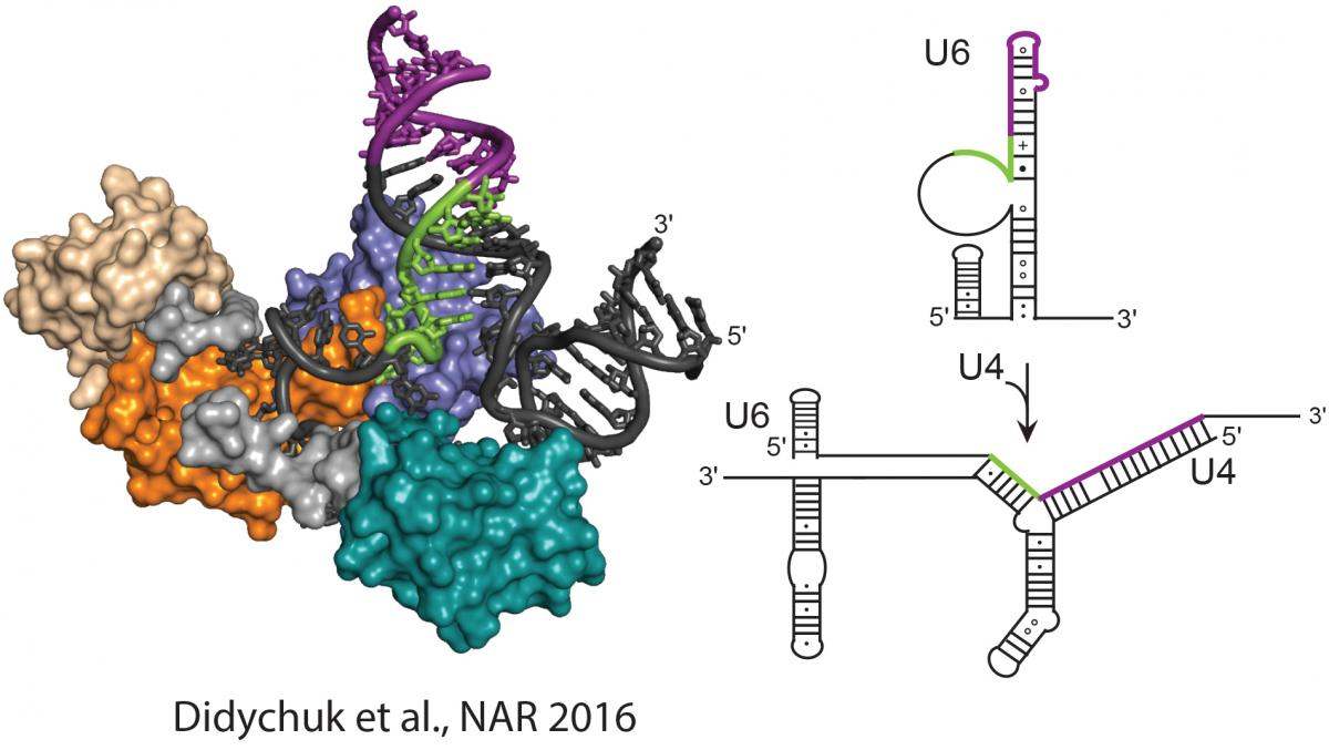 Left, structure of the Prp24-U6 RNA complex (PDB ID 4N0T). Right, U6 and U4/U6 RNA secondary structures. Image from Figure 1 Didychuk et al., NAR 2016