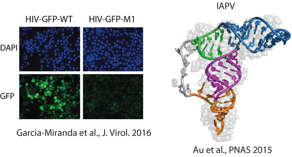 Left: Representative images of the infectivity assay for the WT and a mutant. Image from Figure 6 Garcia-Miranda et al., J Virol. 2016 Right:Structural model of the IAPV PKI domain. Au et al., PNAS 2015