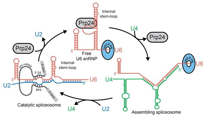 Image of recycling of U6 snRNA during pre-mRNA splicing