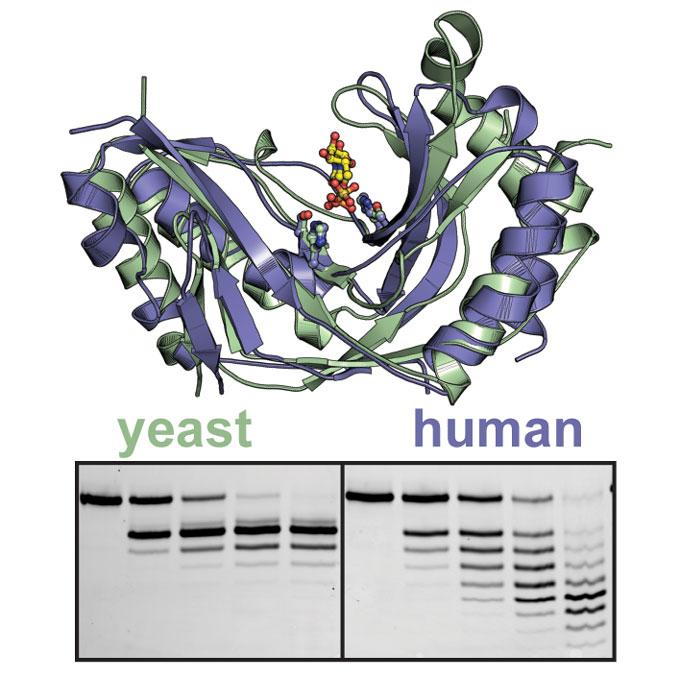 Image of structures of human (blue) and yeast (green) Usb1