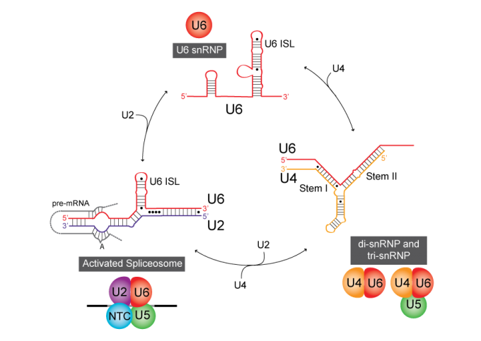 A small portion of the splicing cycle: recycling of U6.